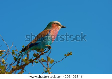 single lilac breasted roller bird perched on a branch in bright sun light, side-view - stock photo