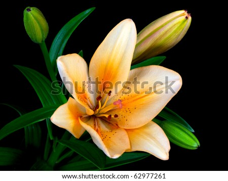 single lily with three buds and green leaves isolated on black - stock photo