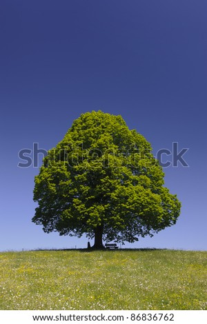 single lime tree over blue sky - stock photo