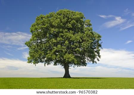 single linden tree at spring - stock photo