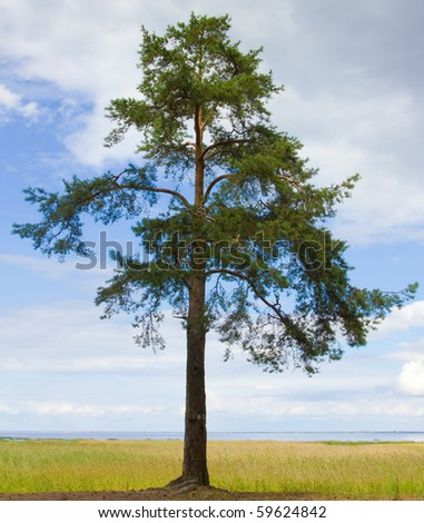 Single Lonely Pine All Alone - stock photo