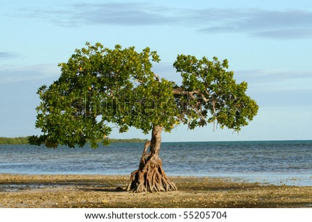 Single Mangrove Tree, Low Tide Florida Keys - stock photo