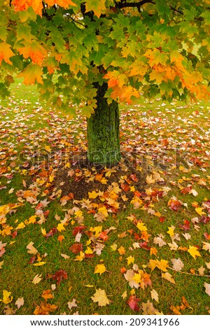 Single maple tree during fall foliage season, Stowe Vermont, USA - stock photo