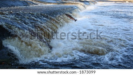 Single minded salmon jumps up river - stock photo