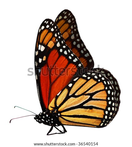 Single monarch butterfly isolated on white background - stock photo