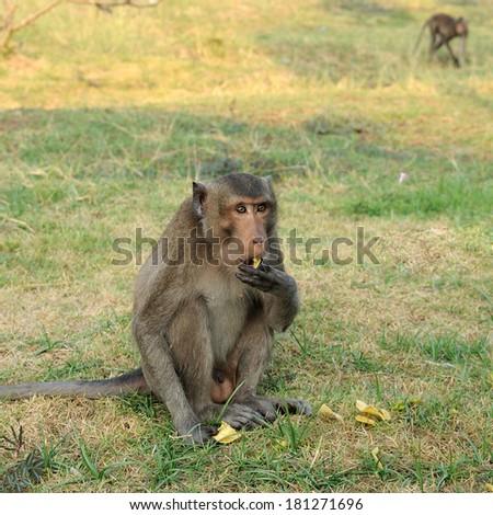 Single monkey eating potato chips. - stock photo