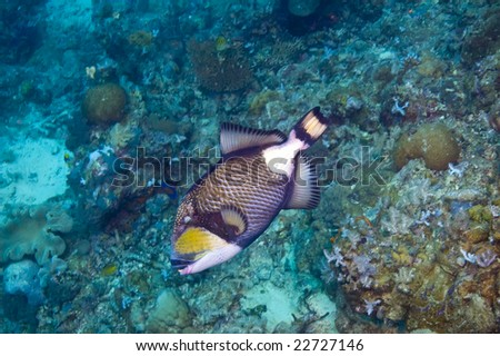 single multi-colored triggerfish above variety of coral of great barrier reef, australia