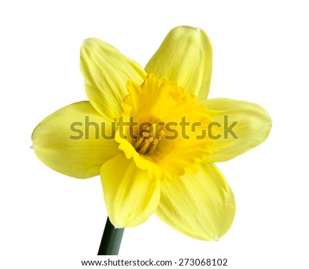Single narcissus daffodil flower isolated on white background - stock photo