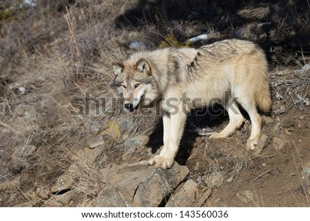 Single North American Grey Wolf in Montana wilderness - stock photo
