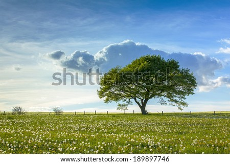 single oak tree on a hill  with dandelion meadow and Blue cloudy Sky at spring in the Eifel - stock photo