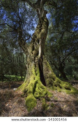 Single old olive tree on Corfu island, Greece - stock photo