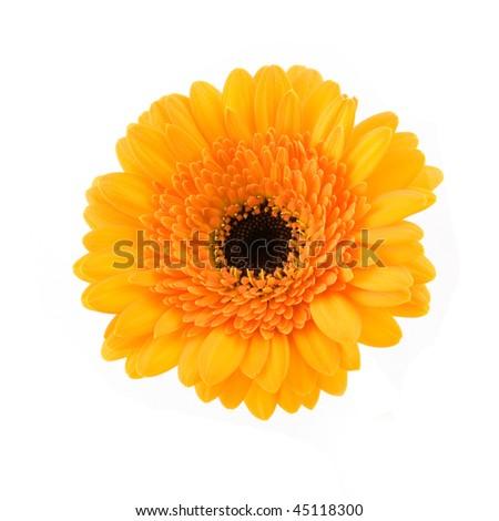 Single orange gerber isolated on white background - stock photo