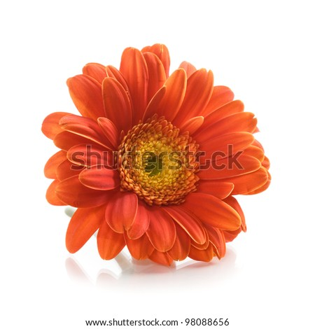 Single orange gerbera daisy flower on white background - stock photo