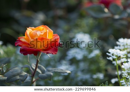 Single orange rose in a garden with petals highlighted by afternoon sun - stock photo