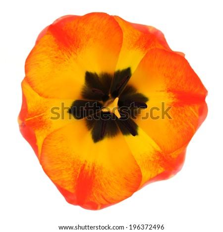 single orange tulip isolated on white  - stock photo