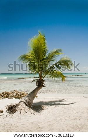 Single palm along an exotic Caribbean beach. - stock photo