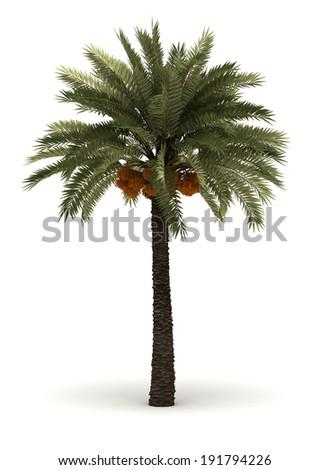 Single Palm Phoenix Dactylifera (isolated white background) - stock photo