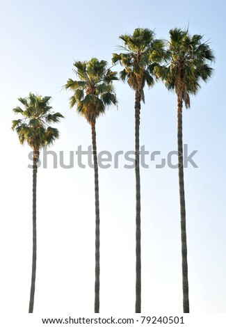 Single palm tree isolated against the blue sky - stock photo