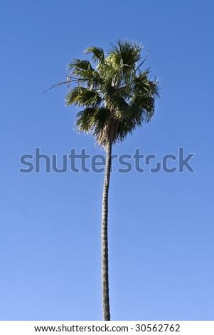 Single palm tree on blue sky - stock photo