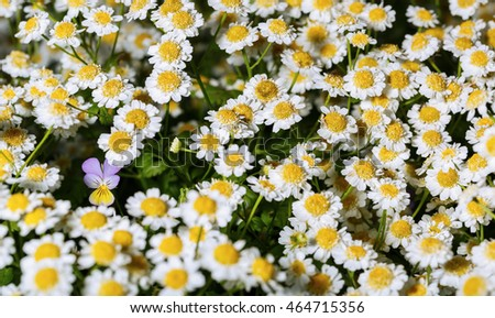 Single pansy flower among flowers pharmaceutical chamomile, close-up