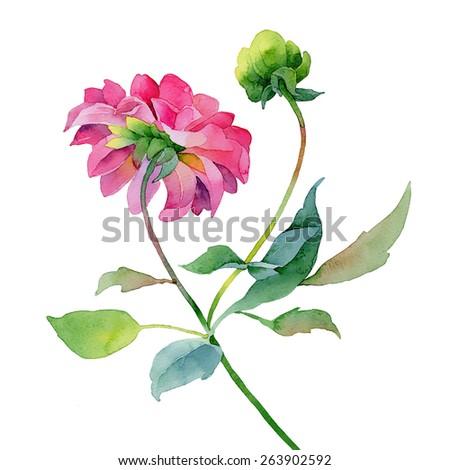 Single pink dahlia isolated on white background. Watercolor illustration - stock photo