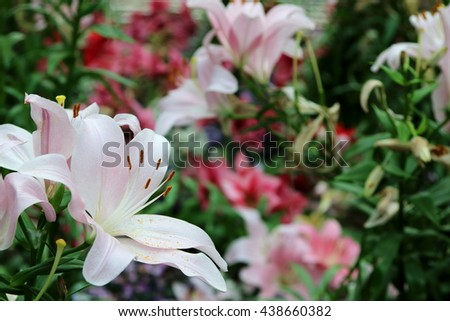 Single pink lily standing out from a sea of lily flowers in a green house - stock photo