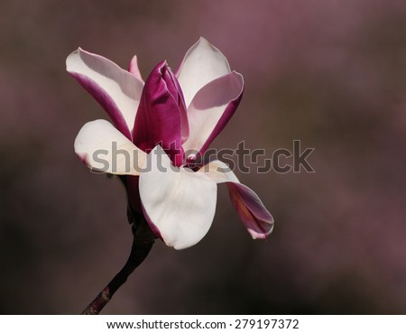 Single pink magnolia flower - stock photo