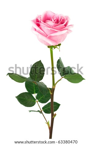 single pink rose on a white background - stock photo
