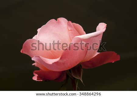 Single pink rose, shot outside on winter day against a natural dark background, shows water droplets