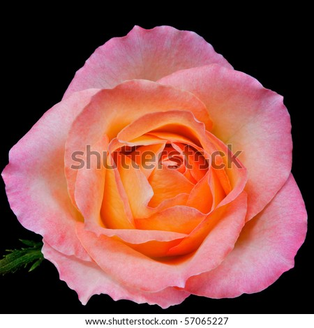 single pink rose with peach core and small leaf isolated on black