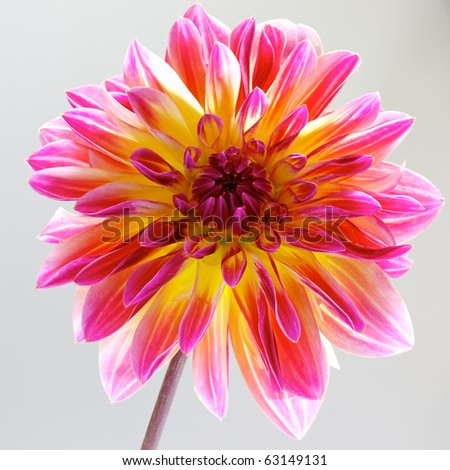 single pink with red and yellow dahlia - stock photo