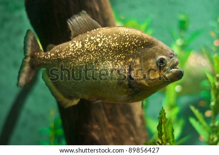Single Piranha Fish under water side view