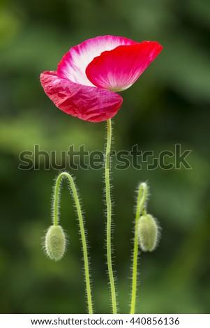 single poppy flower - stock photo