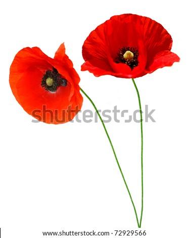 Single poppy isolated on white background - stock photo