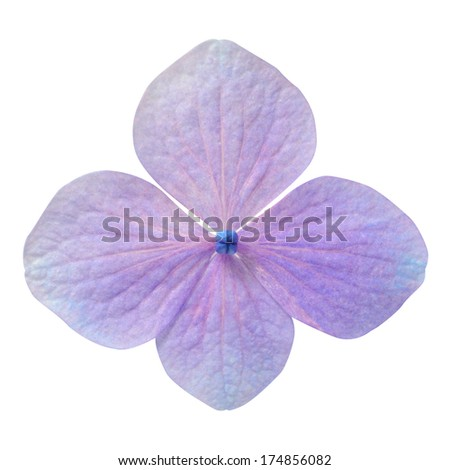 Single Purple Hydrangea Flower Isolated on White Background
