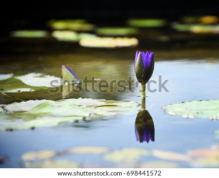 single purple water lily bud with reflection