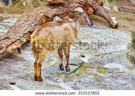 Single ram in their natural habitat in the wild . - stock photo