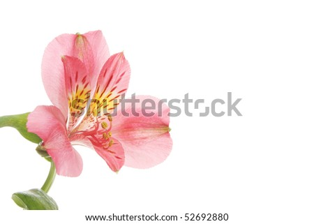 Single red day lilly flower with white copy space