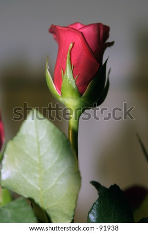 single red long stem rose against a out of focus background