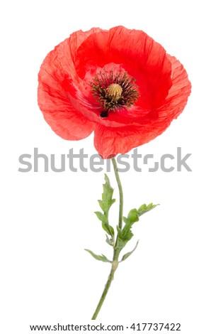 single red poppy isolated on white - stock photo