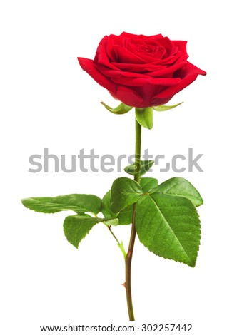 single red rose flower, isolated on white background - stock photo
