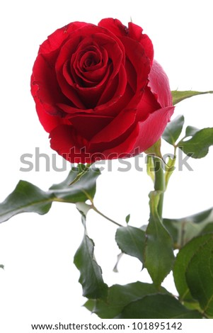 Single red rose flower on white background