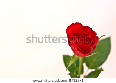 Single Red Rose isolated on white background with copy-space - stock photo