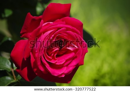Single Red Rose Over Green Background - stock photo