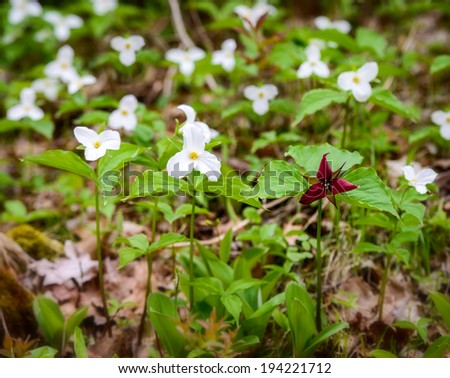 Single Red Trillium erectum growing  amongst White Trilliums.  Trillium grandiflorum is the official emblem of the Province of Ontario and the State Wildflower of Ohio.  - stock photo