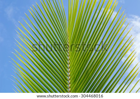 Single ripe coconut palm lear/frond against a blue and white sky background with the point of focus on the center of the leaf.