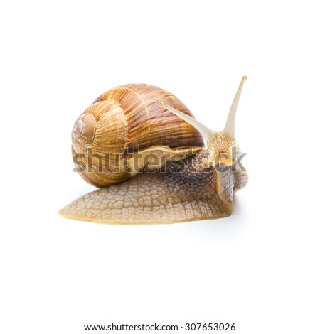 single Roman snail isolated on white background - stock photo