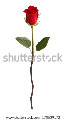Single Rose Isolated on White Background. - stock photo