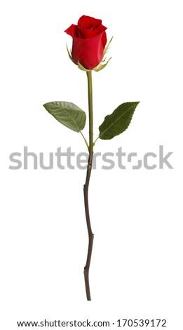 Single Rose Isolated on White Background. - stock photo