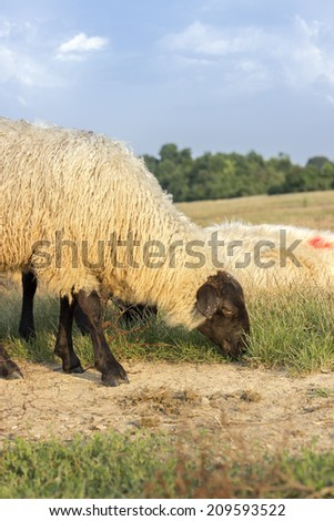 Single sheep grazing. Rural hihghlands region - stock photo